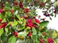 Dahoon Holly, Ilex Cassene