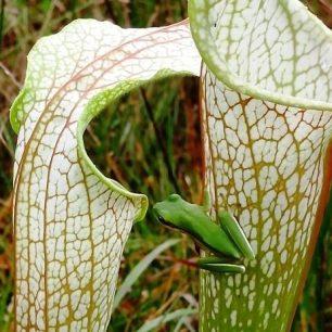 Green Treefrog, Hyla cinerea