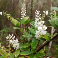 Black Ti-ti, Cliftonia monophylla