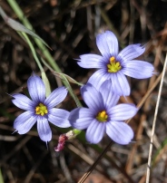 Blue-eyed Grass, Sisyrinchium