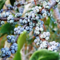 Bayberry/ Wax Myrtle, Myrica cerifera