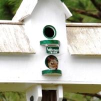 Squirrel Bird, Sciurus carolinensis, squatter