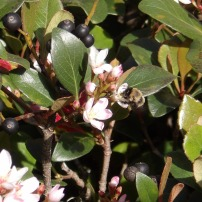 Bumble Bee on Indian Hawthorn
