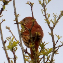 Brown Thrasher, Toxostoma rufum