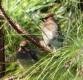 Cedar Waxwing, Bombycilla cedrorum