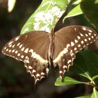 Palamedes Swallowtail, Papilio palamedes