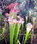 White Top Pitcher Plant, Sarcenia leucophyllia