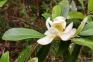 Sweetbay Magnolia, Magnolia virginiana
