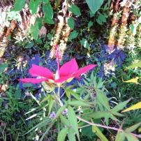 Swamp Hibiscus, Hibiscus coccineus