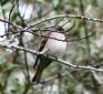 Eastern Wood Pewee, Contopus virens