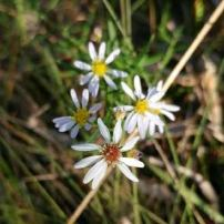 Frost Aster, Aster pilosus