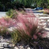 Muhly Grass, Muhlenbergia capillaris
