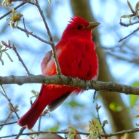 Summer Tanager, Piranga rubra