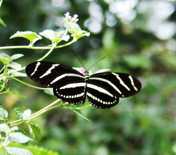 Zebra Longwing, Heliconius charithonia