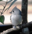 Tufted Titmouse, Baeolophus bicolor