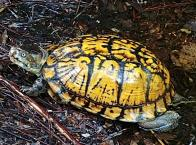 Eastern Box Turtle, Terrapene carolina major
