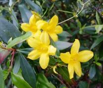 Yellow Jessamine, Gelsemium sempervirens